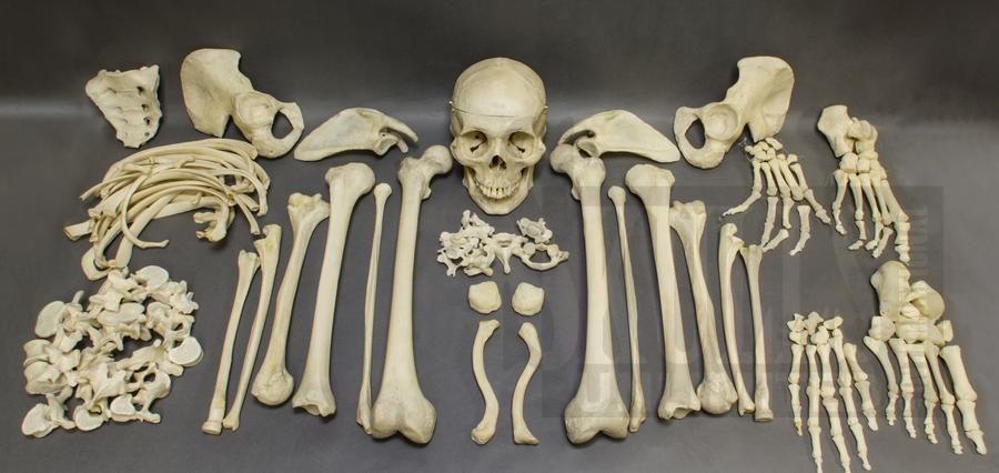 Real Human Skulls Human Skeletons And Individual Human Bones For